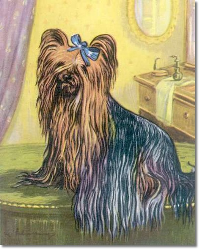 canine-color-plate-from-kamerad-hund-of-yorkshire-terrier